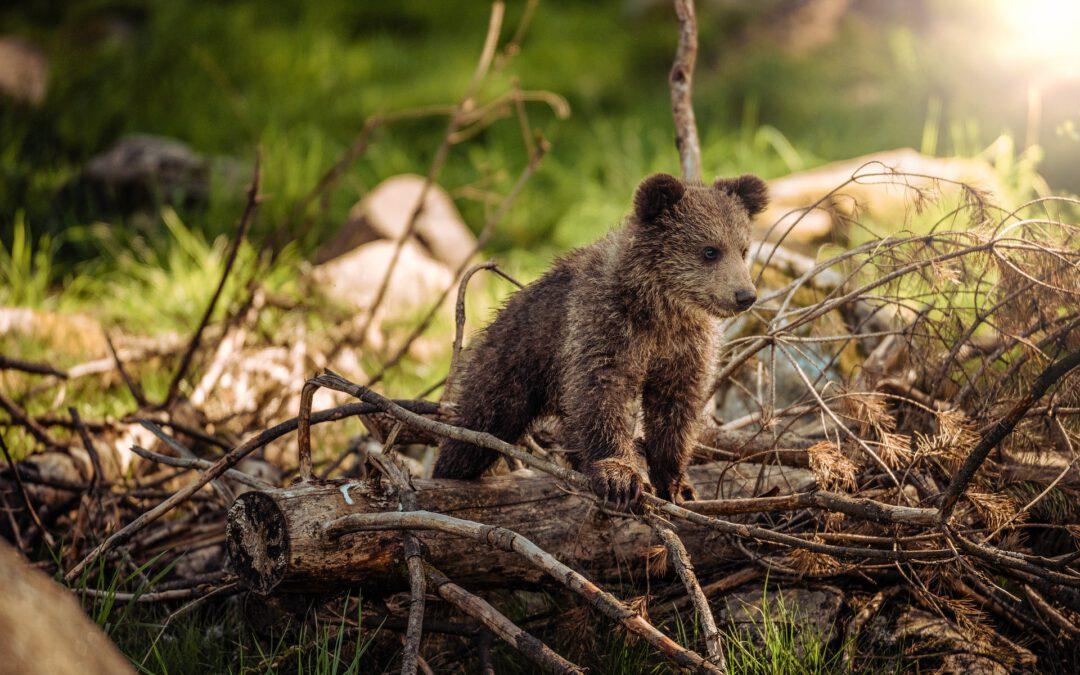 Jak se z medvěda Zdeňka stal medvěd Brufík